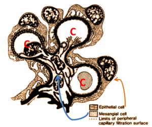 Glomerular Tuft: C=Capillary